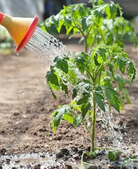 Продажа рассады помидор в питомнике